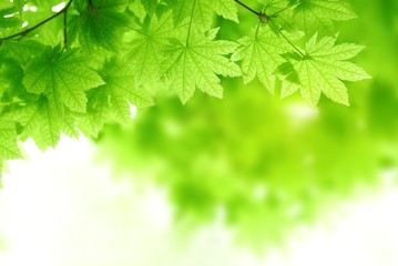 Green maple leaves background