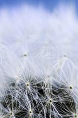 Canvas Prints Dandelions and water Dandelion