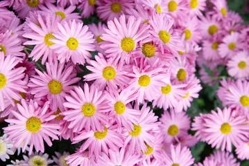 Sweet pink chrysanthemums.