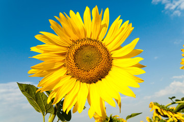 beautiful sunflower on the field