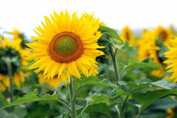 Sunflower field with copy space at the top