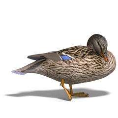 female duck mallard