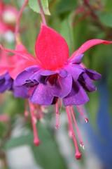 Fuchsienblüte in Lila-Pink
