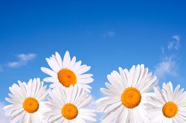 Daisy on blue sky