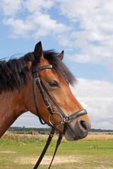 Beautifull Shetland pony
