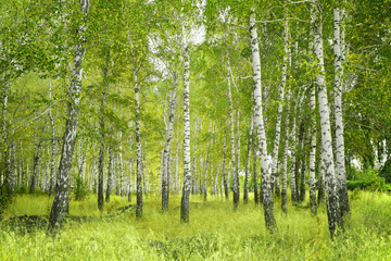 Aluminium Prints Birch Grove Birchs