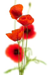 Foto op Canvas Poppy poppies on white - red poppy, floral design