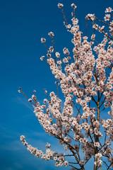 Kirschbaum mit Kirschblüten / Cherry tree with cherry blossoms
