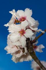 Kirschblüten / Cherry blossoms