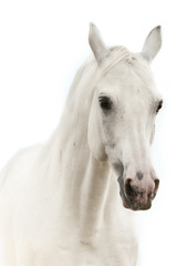 White horse portrait isolated on white