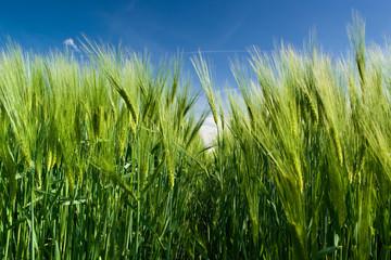Grüner Weizen / Green wheat