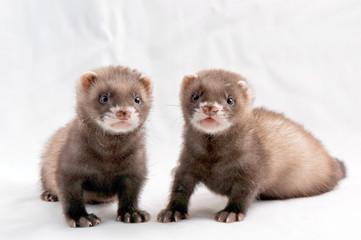 Zwei Frettchen Welpen / Two ferret kitten