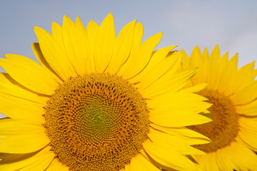 detail of two beautiful sunflowers