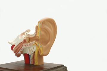 Modell eines menschlichen Ohres