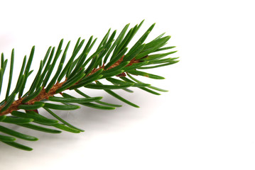 Spruce branch on white background