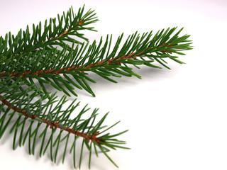 Spruce branch on white background
