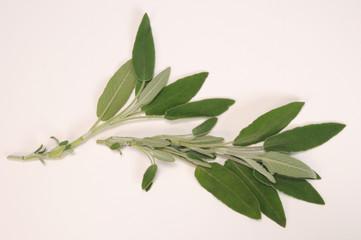 Leaves of Sage