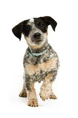 Terrier puppy isolated on a white background