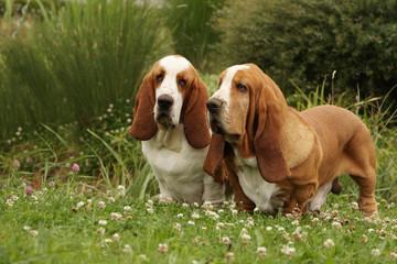 deux basset hound de face dans les champs.promenade