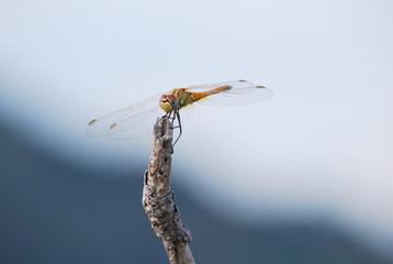 Libelle auf einem Ast