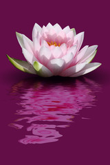 Fleur De Lotus Photos Royalty Free Images Graphics Vectors