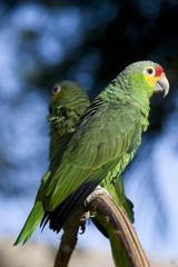 parrot,Perico,Amazona autumnalis ,loro cariamarillo,parakeet,