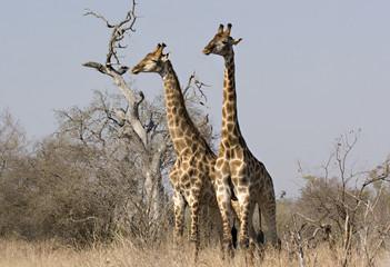 Two giraffes in Kruger Park