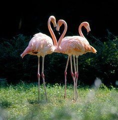 Flamingo_111832