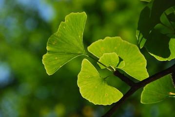 Ginkgo Blätter - Close Up