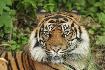 Portrait eines Sumatra-Tigers (Panthera tigris sumatrae)