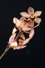 Soft pink orchid on black