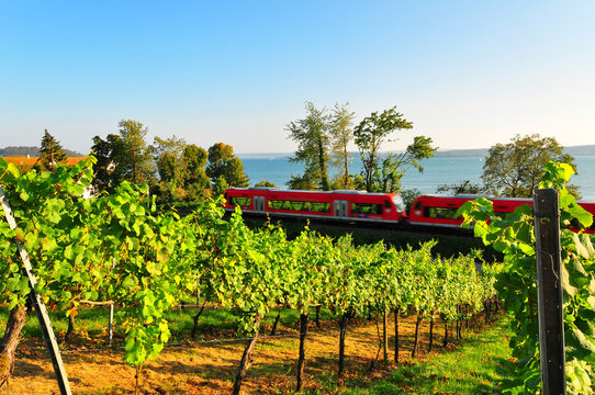 A shot of a typical grapevine in the Lake constance area