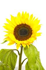 Sunflower isolated over white background.