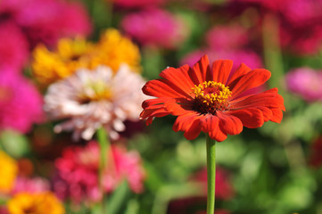Colorful zinnia flowers in a garden bed
