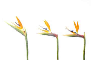 three exotic tropical flower