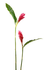 Long stem tropical red with leaf flower