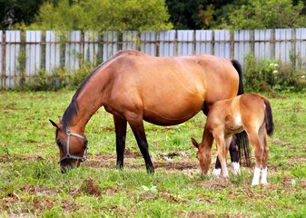 Mother and child grazing and taking rest on the field.