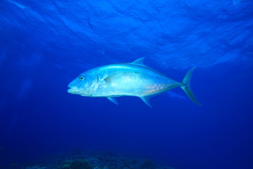 Yellow-dotted Trevally (Carangoides fulvoguttatus)
