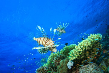 Lionfish hunting over a coral outcrop