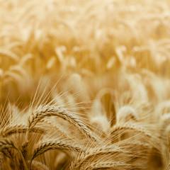 céréales - épis de blé dans un champ - tons jaunes orange