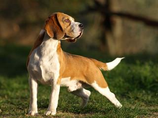 Beagle Maschio