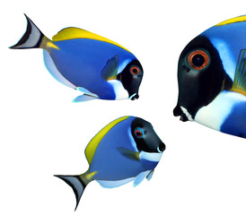 Tropical reef fish - Surgeonfish - Zebrasoma