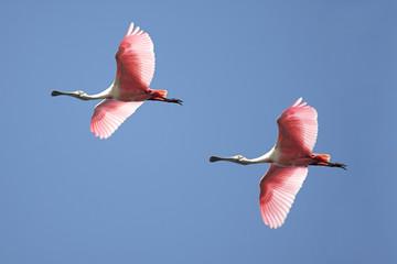 Fotoväggar - Roseate Spoonbills In Flight