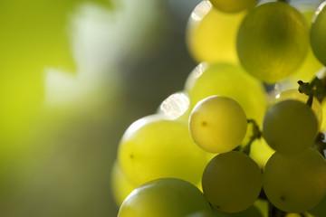 Wall Mural - Beautiful green grapes, macro close-up