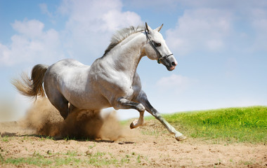 silver-white stallion on field