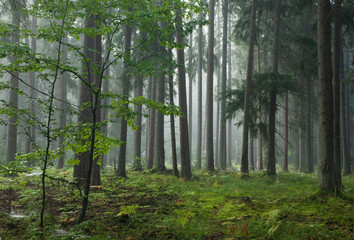Fototapete - Misty late summer coniferous stand of Bialowieza Forest