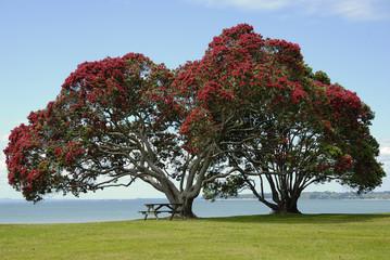 Pohutukawa New Zealand Native Christmas Tree