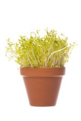Snow Pea Sprouts Isolated