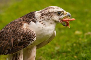 Saker Falcon eating