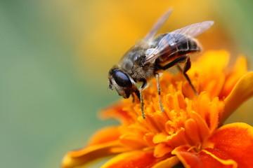 Aluminium Prints Bee Bee on a flower